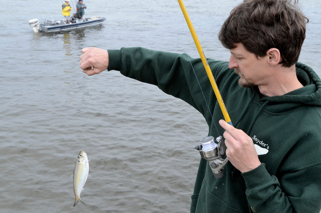Description of . Dave Morelli of Snyders Lake with a herring he'll used for bait off Madison Street. The Troy 9th annual Ale House Striped Bass Tournament, Saturday May 3, 2014 (Mike McMahon - The Record)